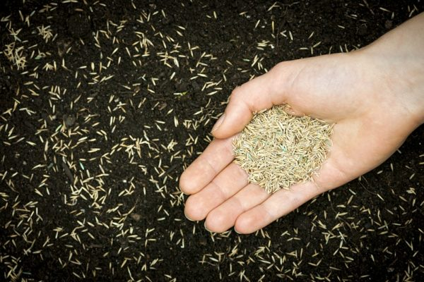 Travno seme